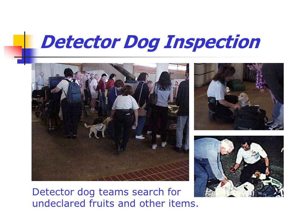 Detector Dog Inspection Detector dog teams search for undeclared fruits and other items.