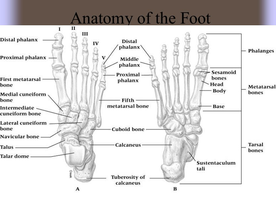 Fractures and Dislocations of the Phalanges –Cause of Injury Kicking un-yielding object, stubbing toe, being stepped on –Signs of Injury Immediate and intense pain Swelling and discoloration Obvious deformity with dislocation –Care Dislocations should be reduced by a physician Casting may occur with great toe or stiff-soled shoe Buddy taping is generally sufficient Shoe with larger toe box may be necessary