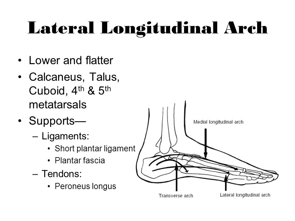 Lateral Longitudinal Arch Lower and flatter Calcaneus, Talus, Cuboid, 4 th & 5 th metatarsals Supports –Ligaments: Short plantar ligament Plantar fasc