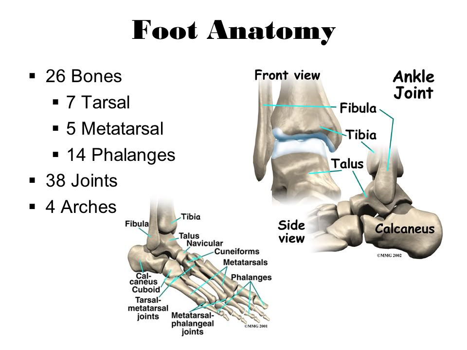 Foot Anatomy 26 Bones 7 Tarsal 5 Metatarsal 14 Phalanges 38 Joints 4 Arches