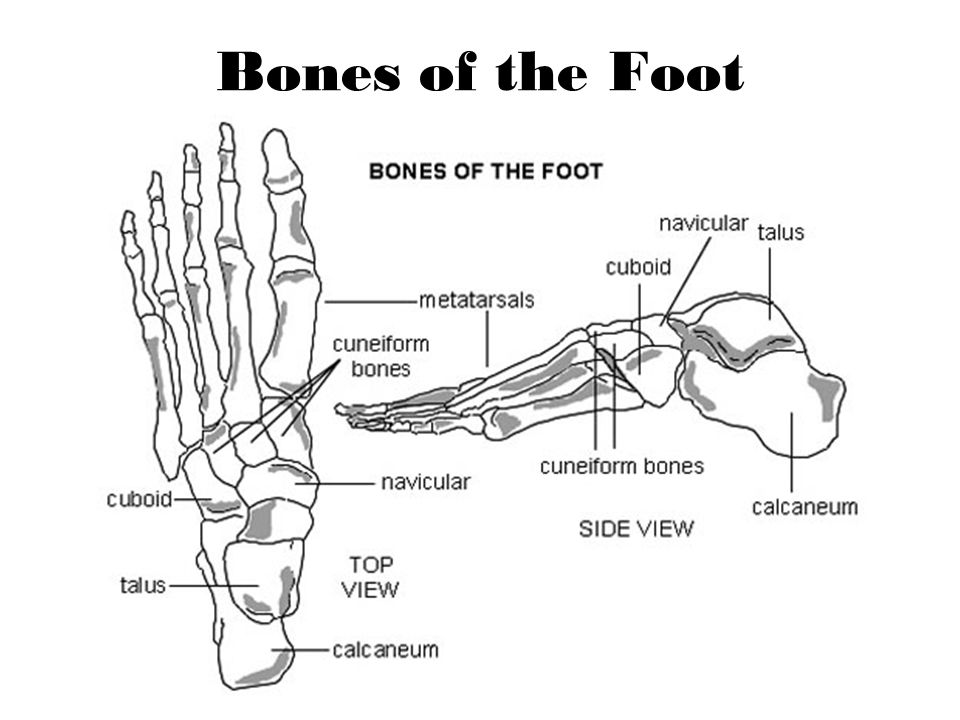 Muscles of Foot Intrinsic Muscles Relate to specific body part or bone Flexor hallucis longus Flexor hallucis brevis Flexor digitorum longus Extensor digitorum longus Abductor hallucis Abductor digiti minimi Tibialis posterior Extrinsic Muscles Muscle outside a body part, organ, or bone Gastrocnemius