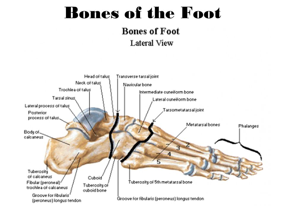 Lateral Longitudinal Arch Lower and flatter Calcaneus, Talus, Cuboid, 4 th & 5 th metatarsals Supports –Ligaments: Short plantar ligament Plantar fascia –Tendons: Peroneus longus