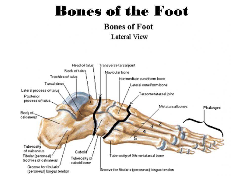 Tarsal Bones Talus Calcaneus Navicular Cuboid Cuniforms Medial Intermediate Lateral