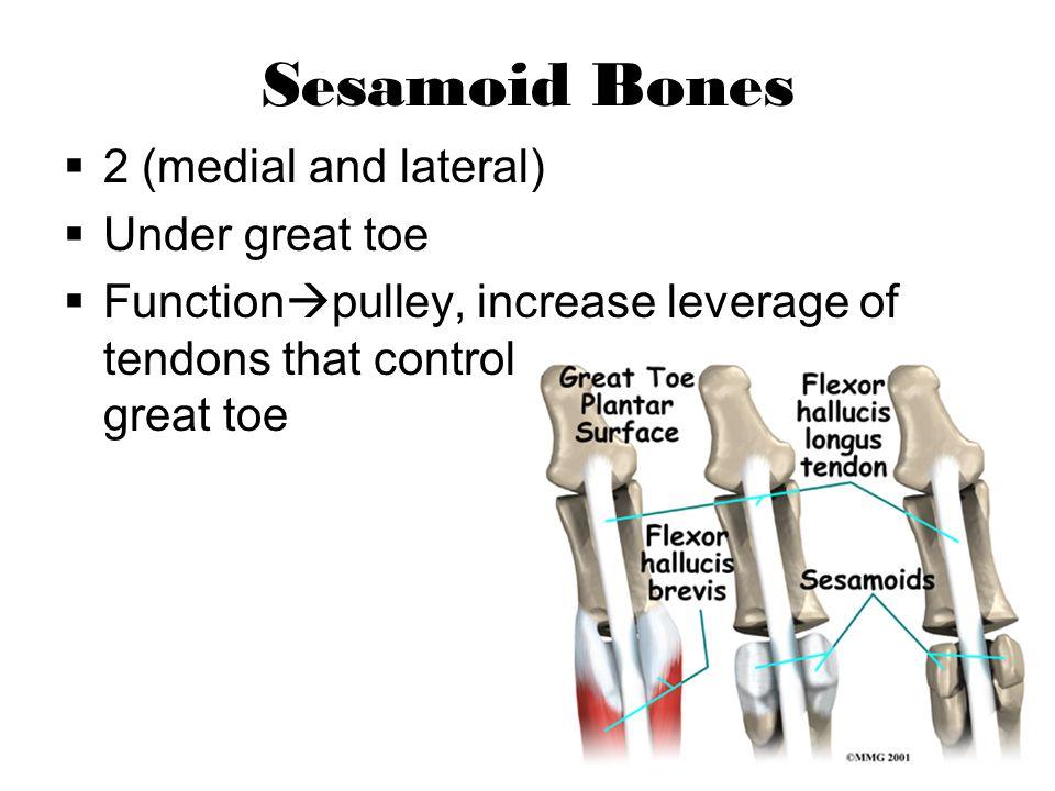 Joints of the Foot Tibiotalar Talocrural Subtalar Talonavicular Calcaneocubiod Metarsocunieform