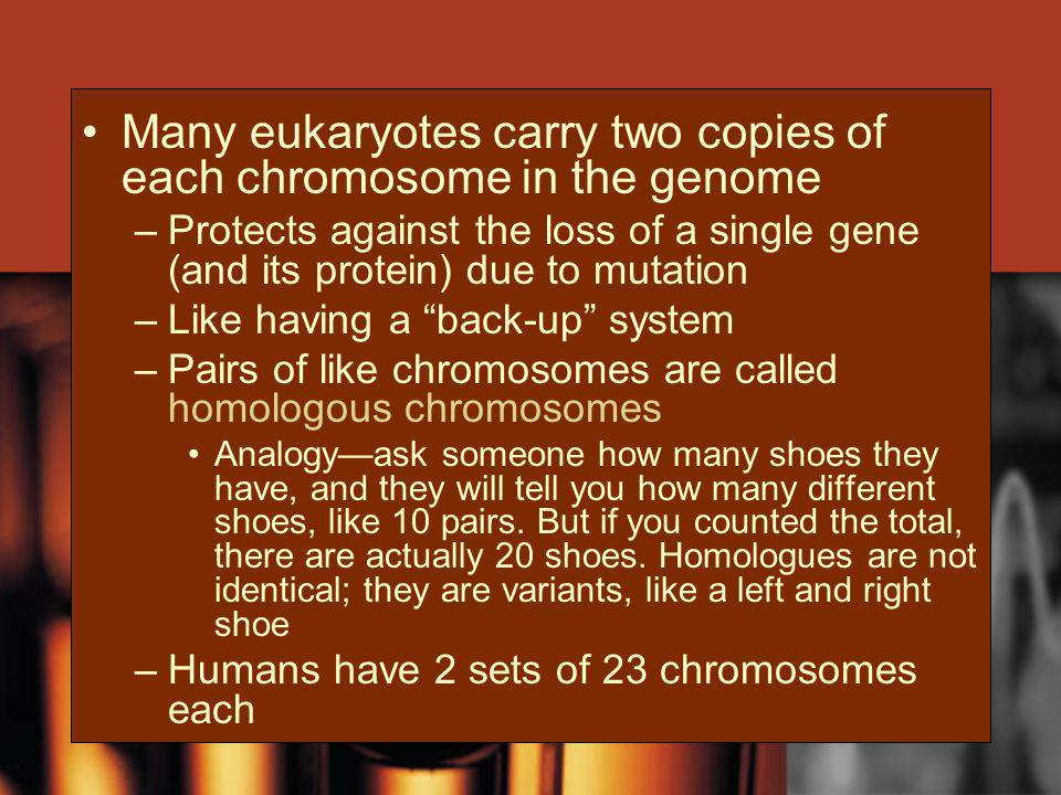 Many eukaryotes carry two copies of each chromosome in the genome –Protects against the loss of a single gene (and its protein) due to mutation –Like