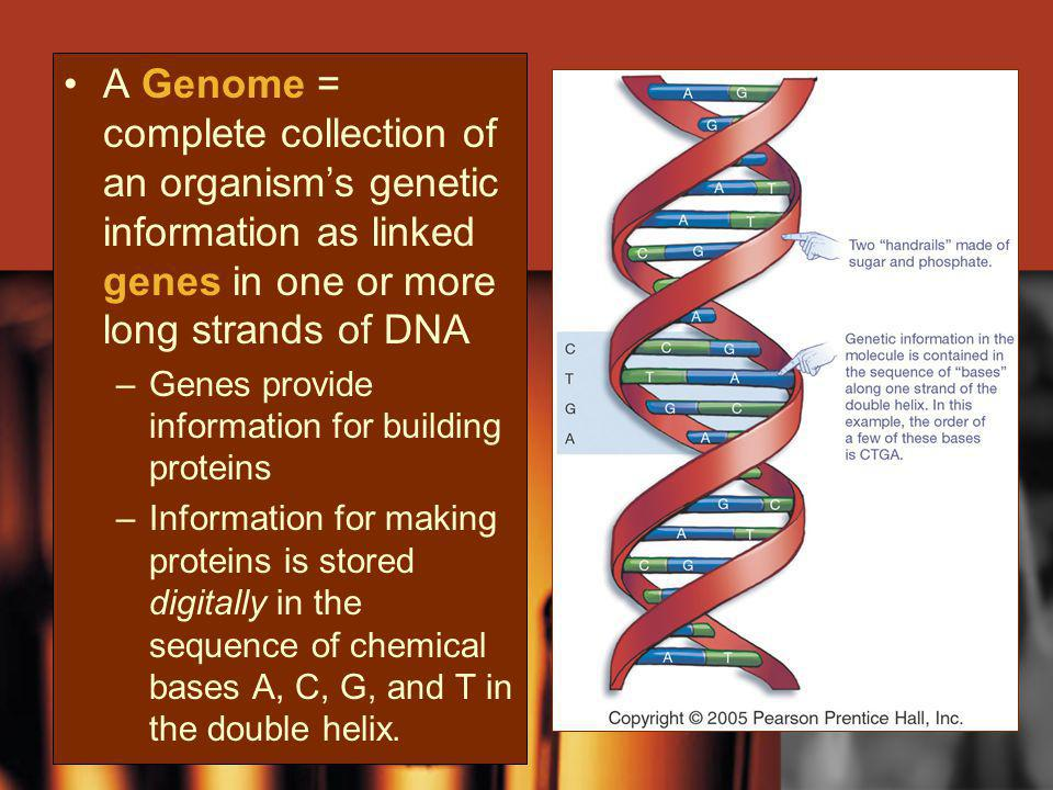 A Genome = complete collection of an organisms genetic information as linked genes in one or more long strands of DNA –Genes provide information for b