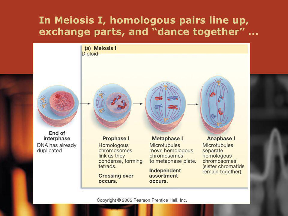 In Meiosis I, homologous pairs line up, exchange parts, and dance together...