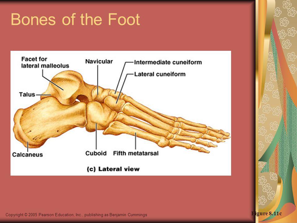 Copyright © 2005 Pearson Education, Inc., publishing as Benjamin Cummings Bones of the Foot Figure 8.11c