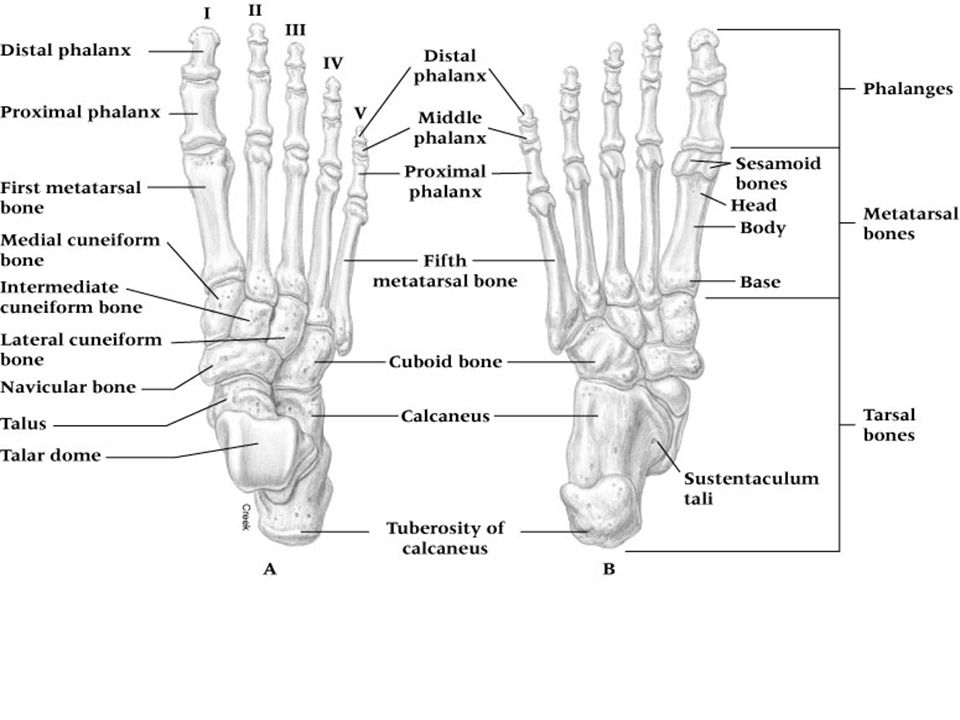 Injuries to the Toes Sprained Toes –Etiology Generally caused by kicking non-yielding object Pushes joint beyond normal ROM or imparting a twisting motion on the toe- disrupting ligaments and joint capsule –Sign and Symptoms Pain is immediate and intense but short lived Immediate swelling and discoloration occurring w/in 1-2 days Stiffness and residual pain will last several weeks –Management RICE, buddy taping toes to immobilize Begin weight bearing as tolerable