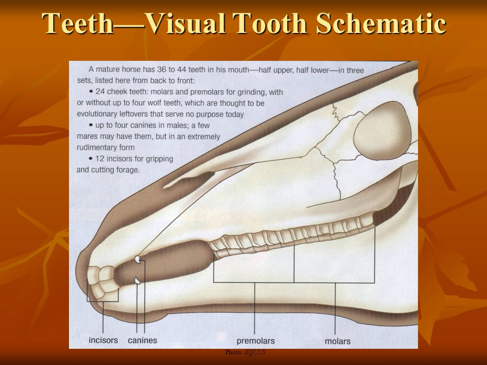 TeethWhole Tooth Schematic Photo: EQUUS