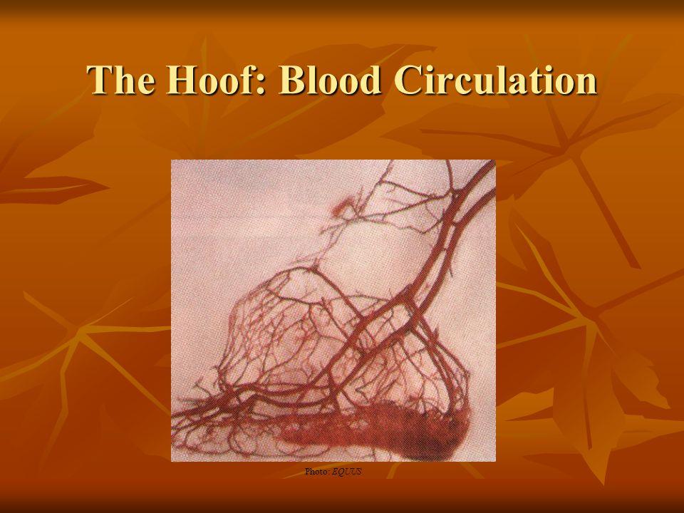 The Hoof: Blood Circulation Photo: EQUUS
