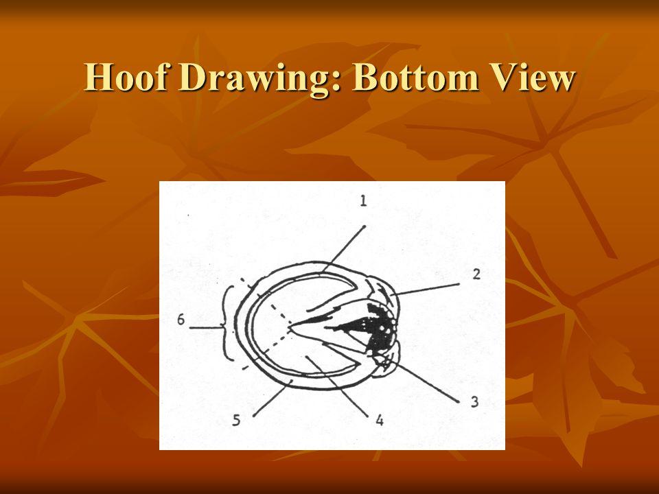 Hoof Drawing: Bottom View