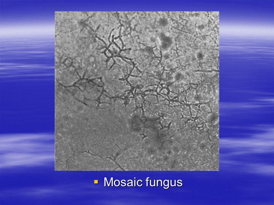 Mosaic fungus Mosaic fungus