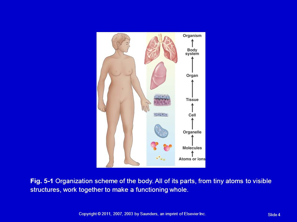 Fig. 5-1 Organization scheme of the body. All of its parts, from tiny atoms to visible structures, work together to make a functioning whole. Slide 4