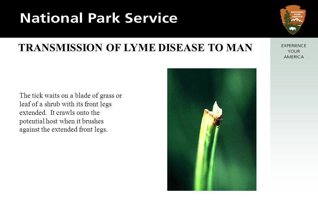 TRANSMISSION OF LYME DISEASE TO MAN Lyme is transmitted from the reservoir species to man primarily by the nymph stage of the tick.