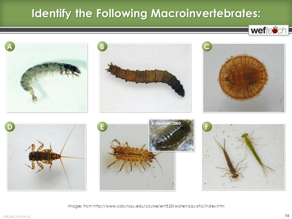 Identify the Following Macroinvertebrates: WEF_Bio_Monitoring 16 Images from http://www.cals.ncsu.edu/course/ent525/water/aquatic/index.htm B.