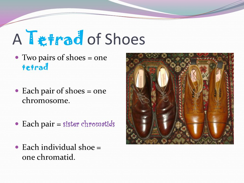 A Tetrad of Shoes Two pairs of shoes = one tetrad Each pair of shoes = one chromosome.