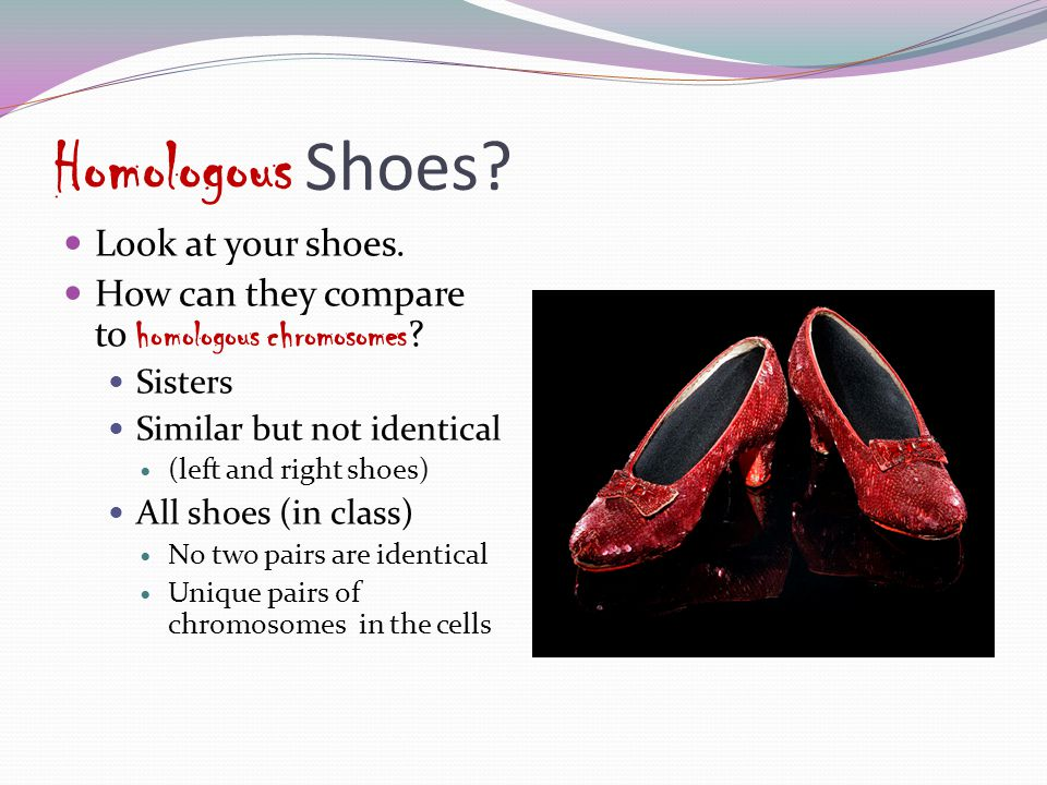 Homologous Shoes? Look at your shoes. How can they compare to homologous chromosomes ? Sisters Similar but not identical (left and right shoes) All sh