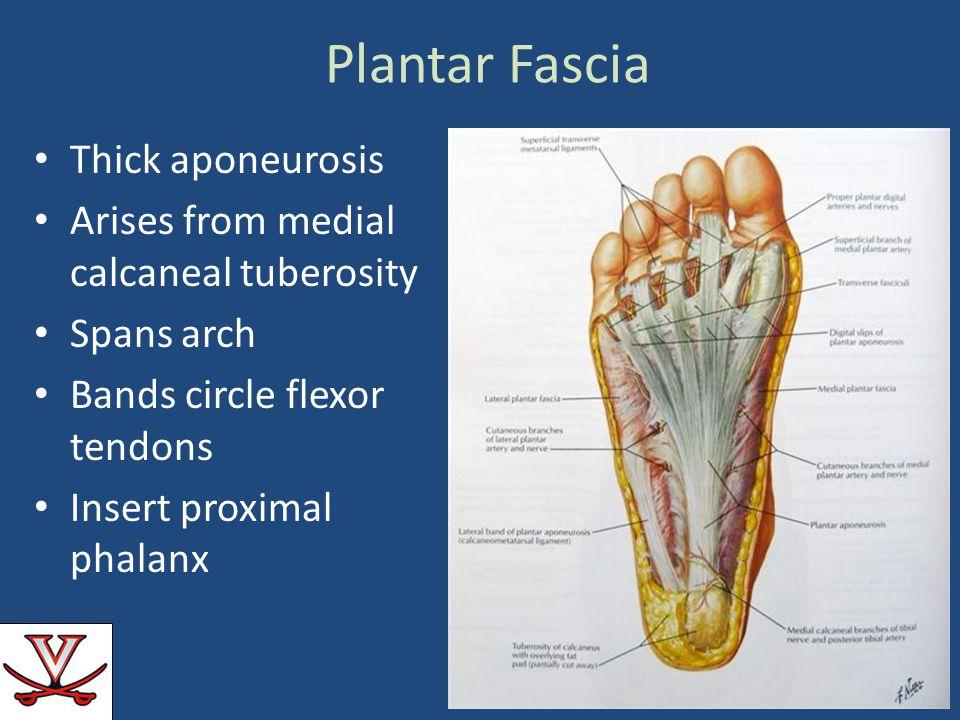 Plantar Fascia Thick aponeurosis Arises from medial calcaneal tuberosity Spans arch Bands circle flexor tendons Insert proximal phalanx