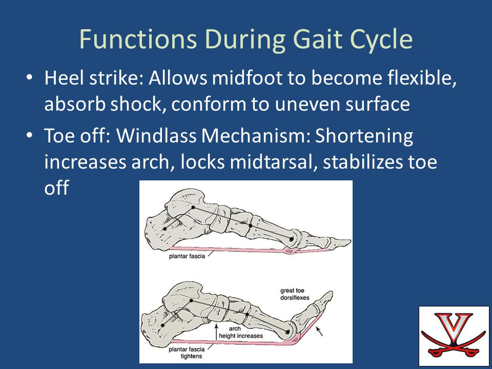 Functions During Gait Cycle Heel strike: Allows midfoot to become flexible, absorb shock, conform to uneven surface Toe off: Windlass Mechanism: Short