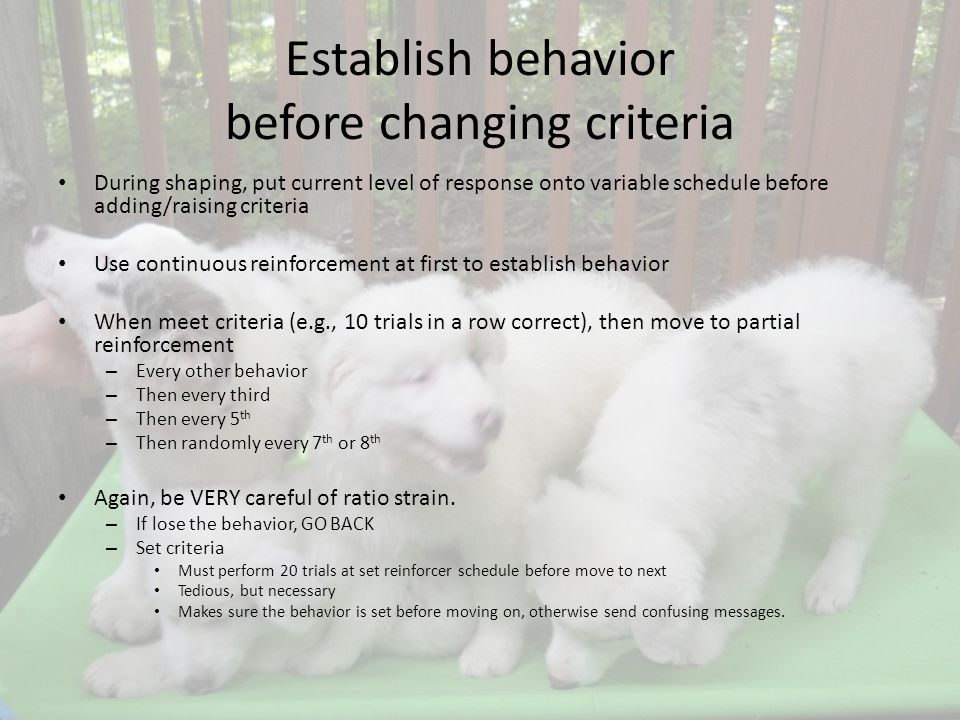 Establish behavior before changing criteria During shaping, put current level of response onto variable schedule before adding/raising criteria Use continuous reinforcement at first to establish behavior When meet criteria (e.g., 10 trials in a row correct), then move to partial reinforcement – Every other behavior – Then every third – Then every 5 th – Then randomly every 7 th or 8 th Again, be VERY careful of ratio strain.