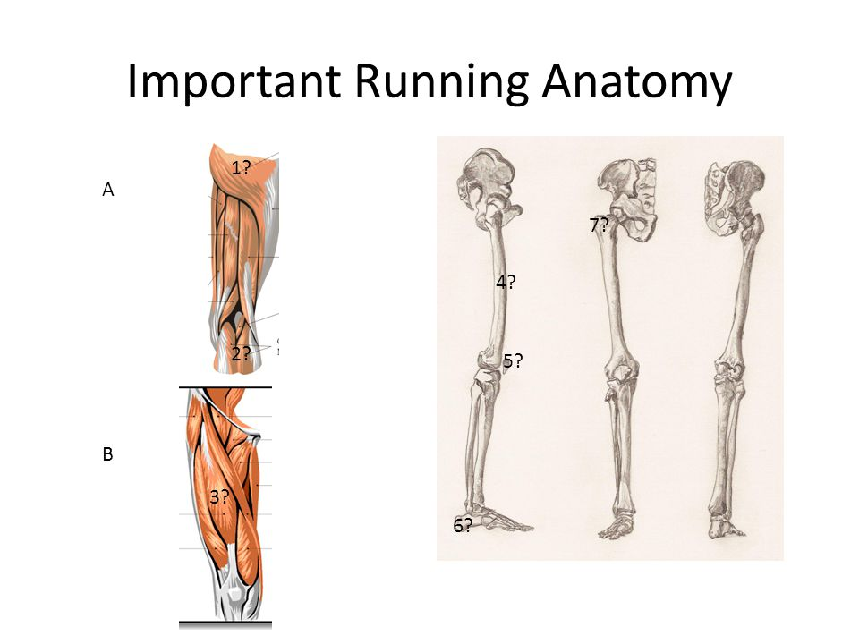 Important Running Anatomy 1 2 3 4 5 6 7 A B