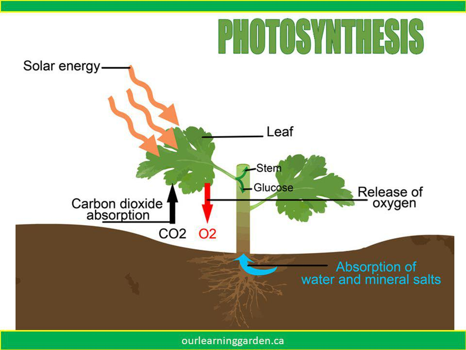 SUNLIGHT SOIL NUTRIENTS AIR WATER Plants make a green food called chlorophyll.