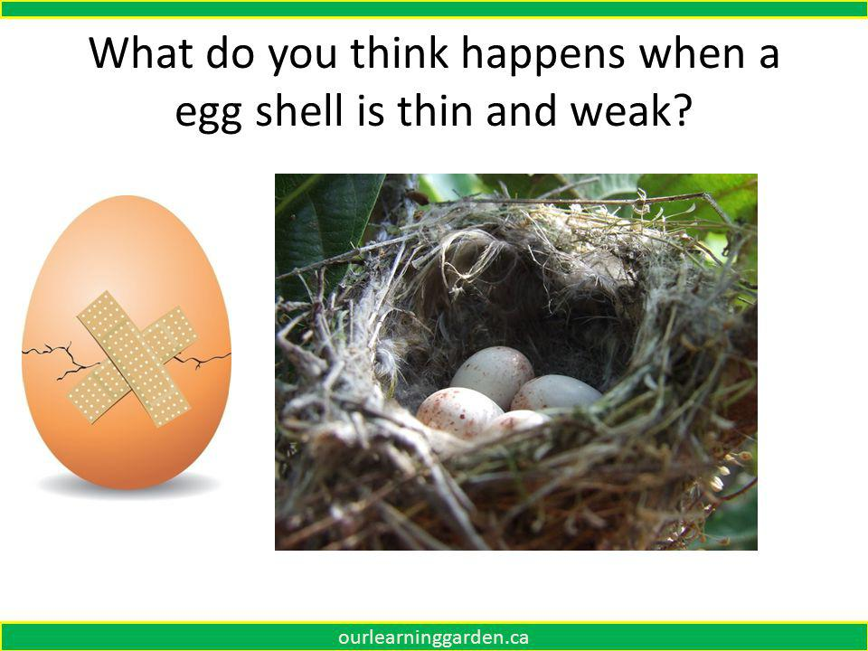 What do you think happens when a egg shell is thin and weak ourlearninggarden.ca