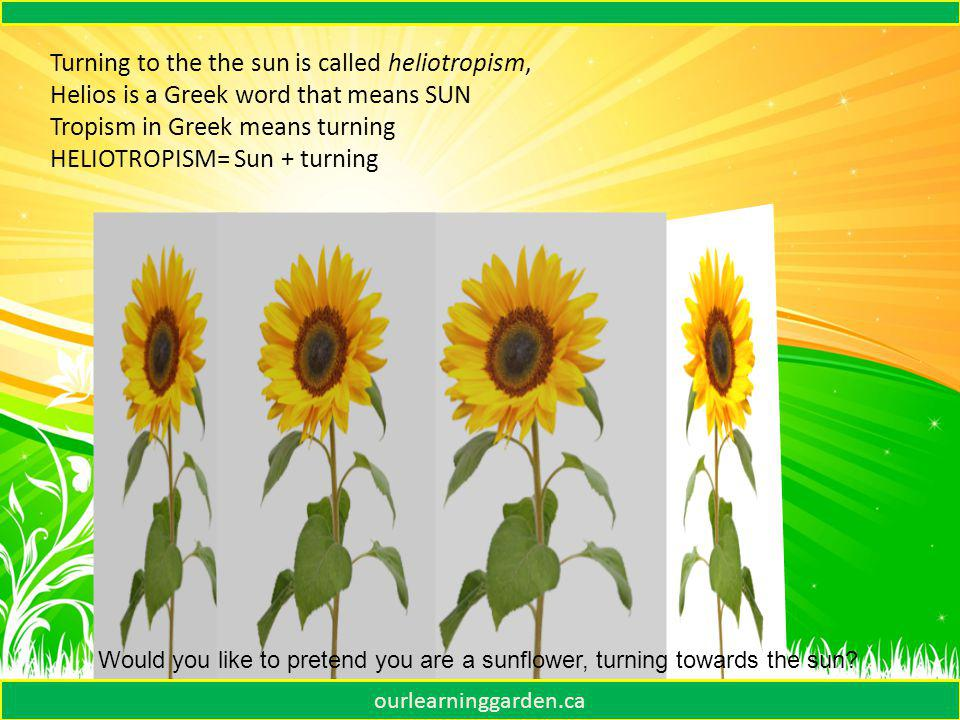 Sunflowers face in the morning. In the afternoon ourlearninggarden.ca