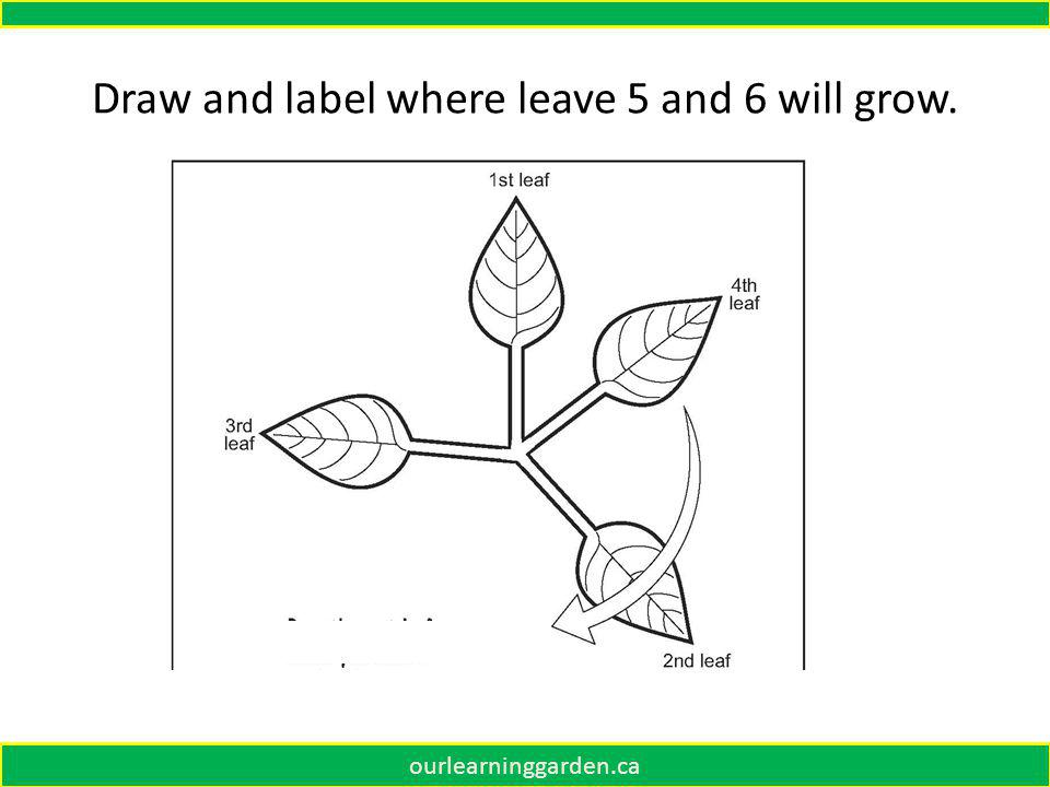 Draw and label where the 4 th leaf will grow. ourlearninggarden.ca