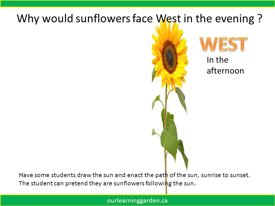 Why would sunflowers face East in the morning .