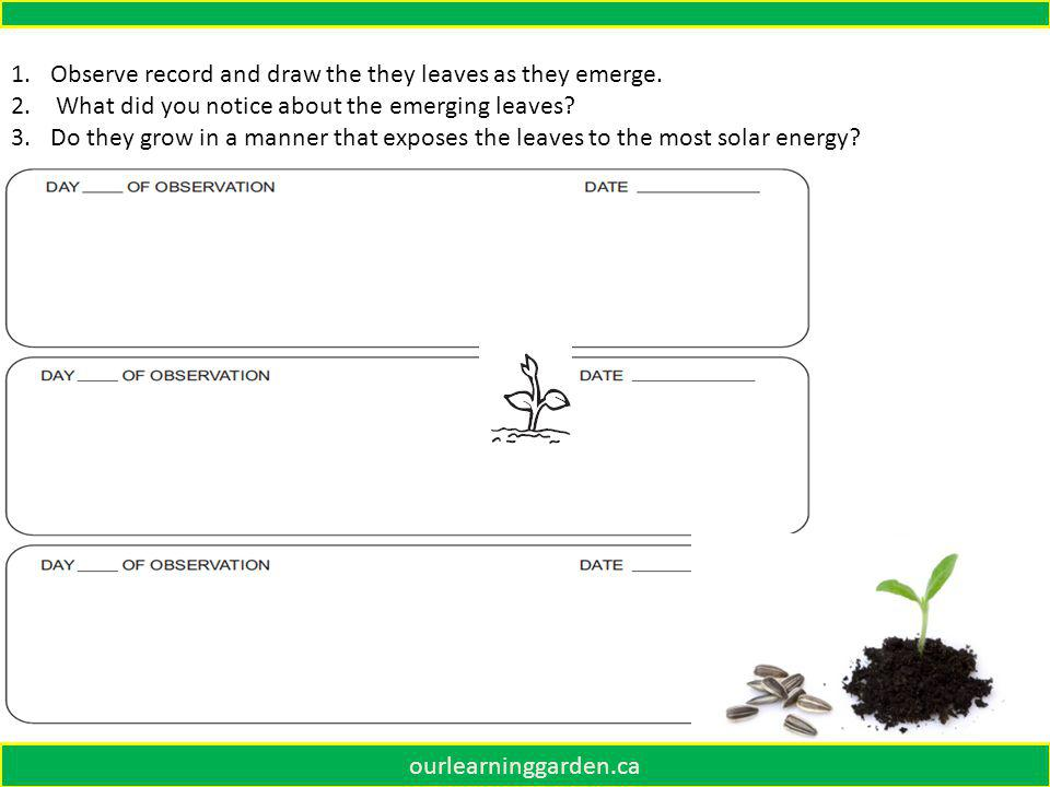 1.Observe record and draw the they leaves as they emerge.