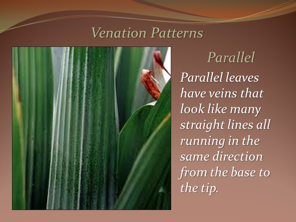 Parallel Parallel leaves have veins that look like many straight lines all running in the same direction from the base to the tip.