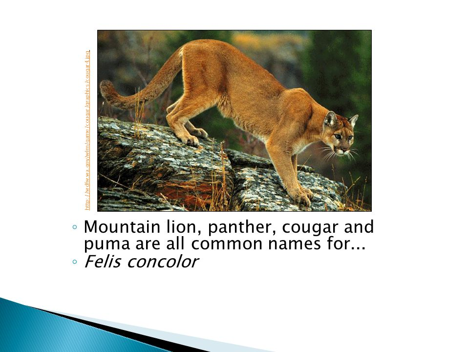 Mountain lion, panther, cougar and puma are all common names for... Felis concolor http://wdfw.wa.gov/wlm/game/cougar/graphics/cougar4.jpg
