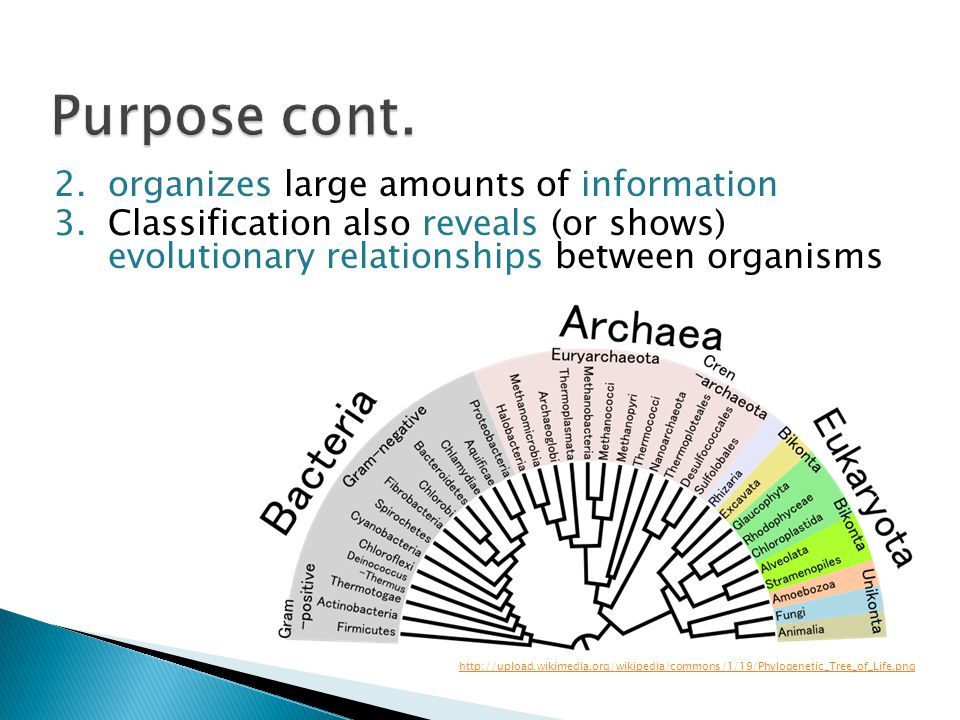 2.organizes large amounts of information 3.Classification also reveals (or shows) evolutionary relationships between organisms http://upload.wikimedia