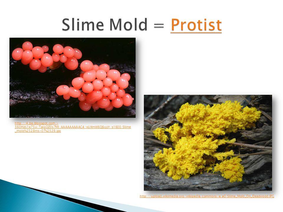 http://4.bp.blogspot.com/- 360Hzs1e75w/TaiqOZ0s7MI/AAAAAAAAAC4/xUXmW6Q6qoY/s1600/Slime _mold%2528ms-07%2529.jpg http://upload.wikimedia.org/wikipedia/
