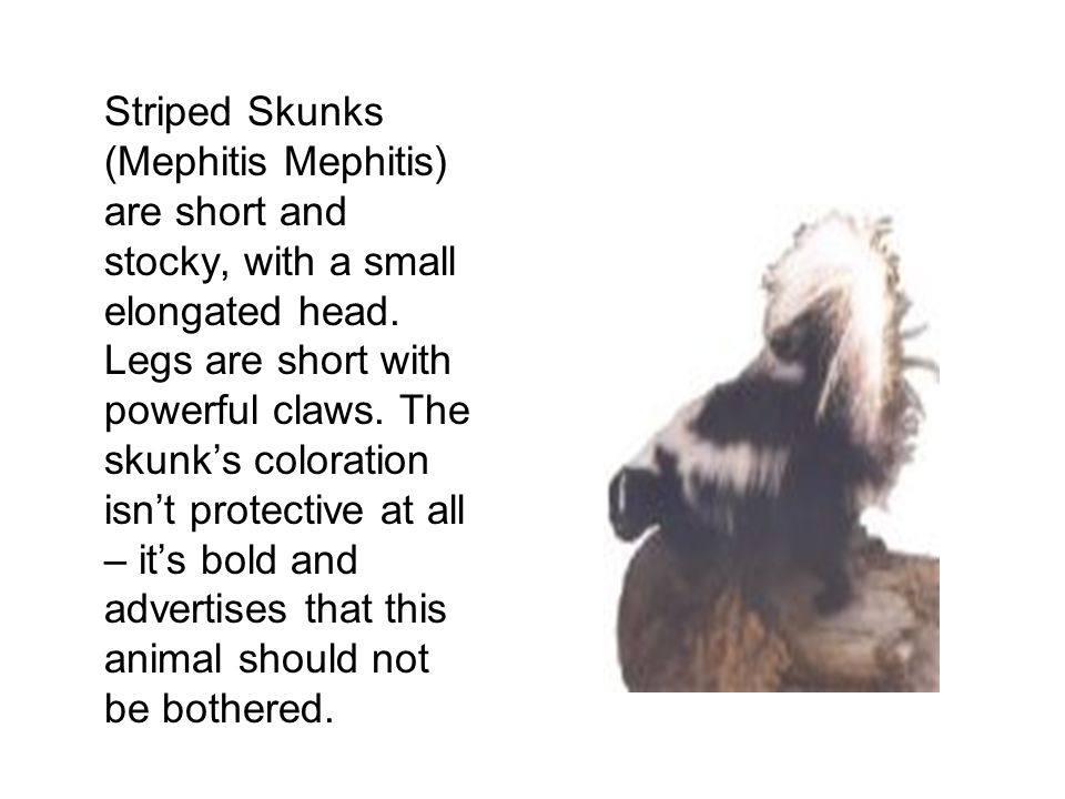 Striped Skunks (Mephitis Mephitis) are short and stocky, with a small elongated head.