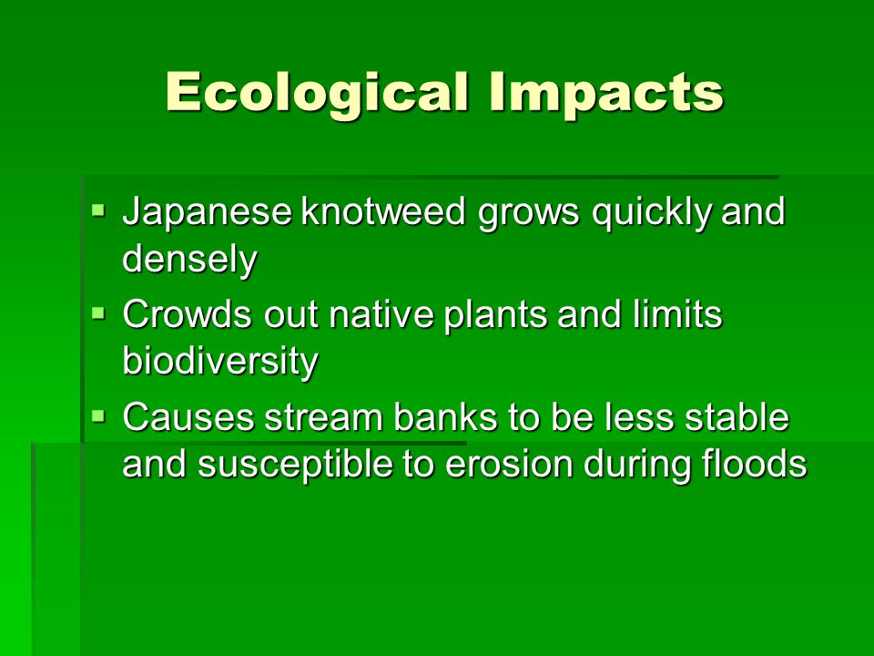 Ecological Impacts Japanese knotweed grows quickly and densely Japanese knotweed grows quickly and densely Crowds out native plants and limits biodiversity Crowds out native plants and limits biodiversity Causes stream banks to be less stable and susceptible to erosion during floods Causes stream banks to be less stable and susceptible to erosion during floods