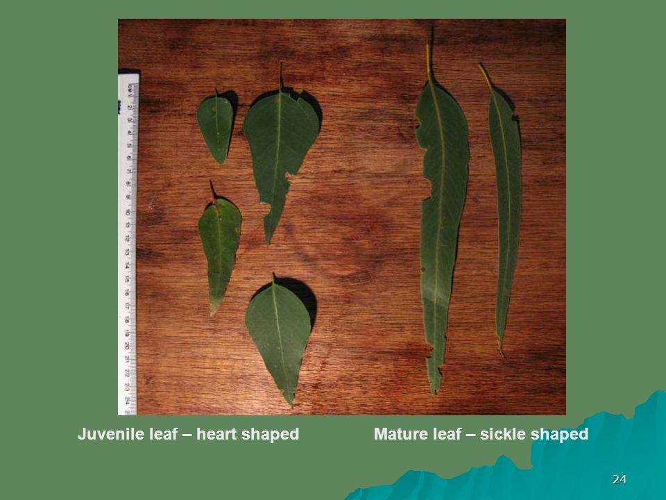 24 Juvenile leaf – heart shaped Mature leaf – sickle shaped