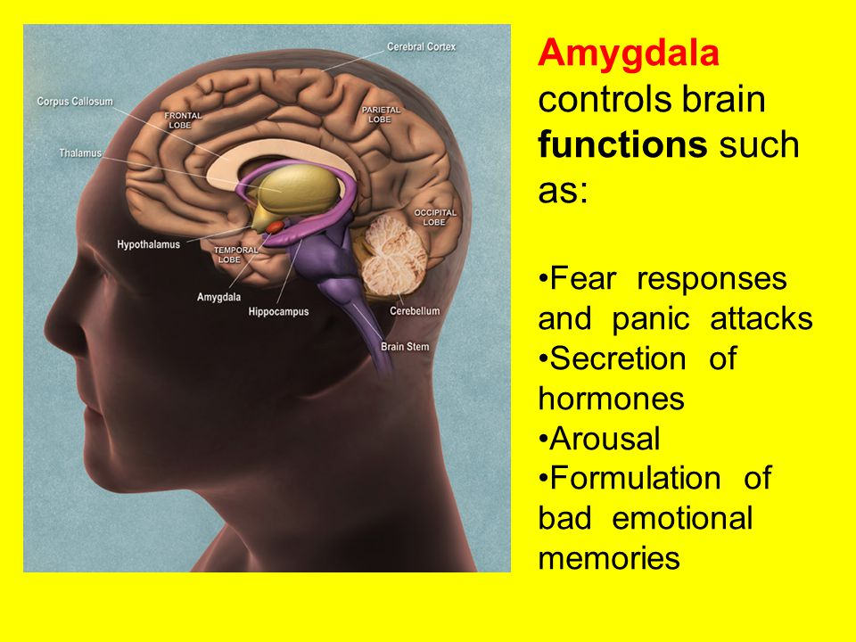 Amygdala controls brain functions such as: Fear responses and panic attacks Secretion of hormones Arousal Formulation of bad emotional memories