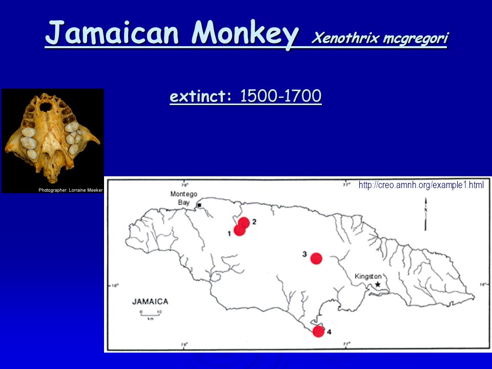 Jamaican Monkey Xenothrix mcgregori extinct: