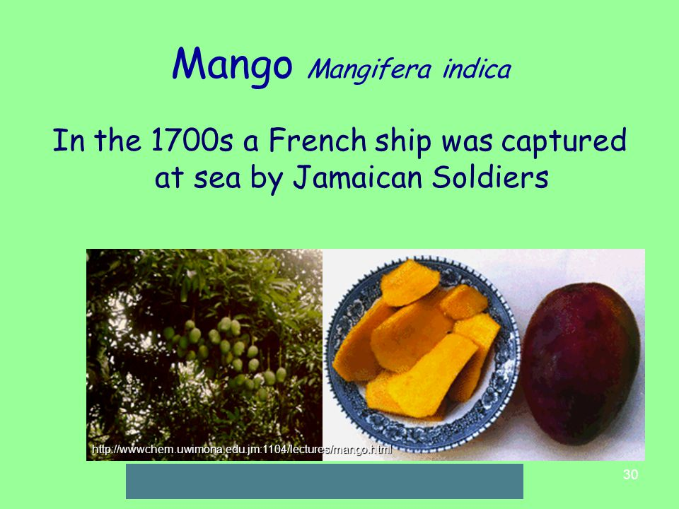 30 Mango Mangifera indica In the 1700s a French ship was captured at sea by Jamaican Soldiers