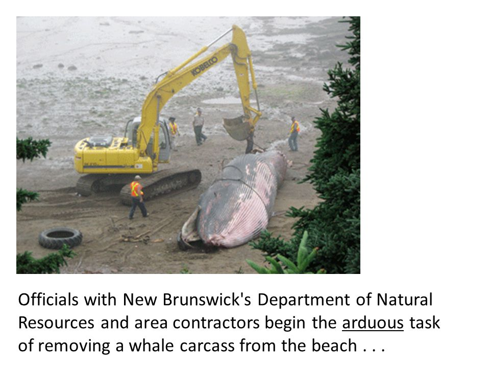 Officials with New Brunswick s Department of Natural Resources and area contractors begin the arduous task of removing a whale carcass from the beach...
