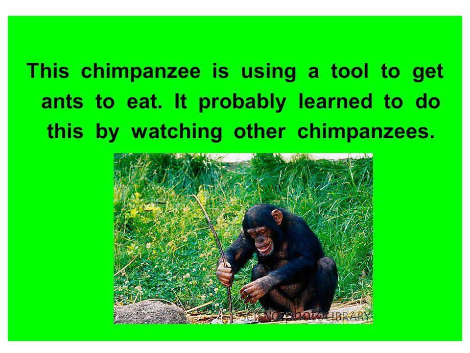 This chimpanzee is using a tool to get ants to eat. It probably learned to do this by watching other chimpanzees.