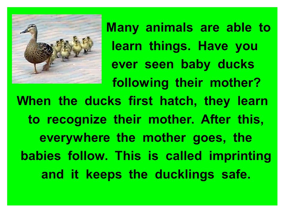 Many animals are able to learn things. Have you ever seen baby ducks following their mother? When the ducks first hatch, they learn to recognize their