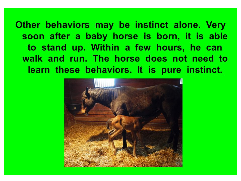 Other behaviors may be instinct alone. Very soon after a baby horse is born, it is able to stand up. Within a few hours, he can walk and run. The hors