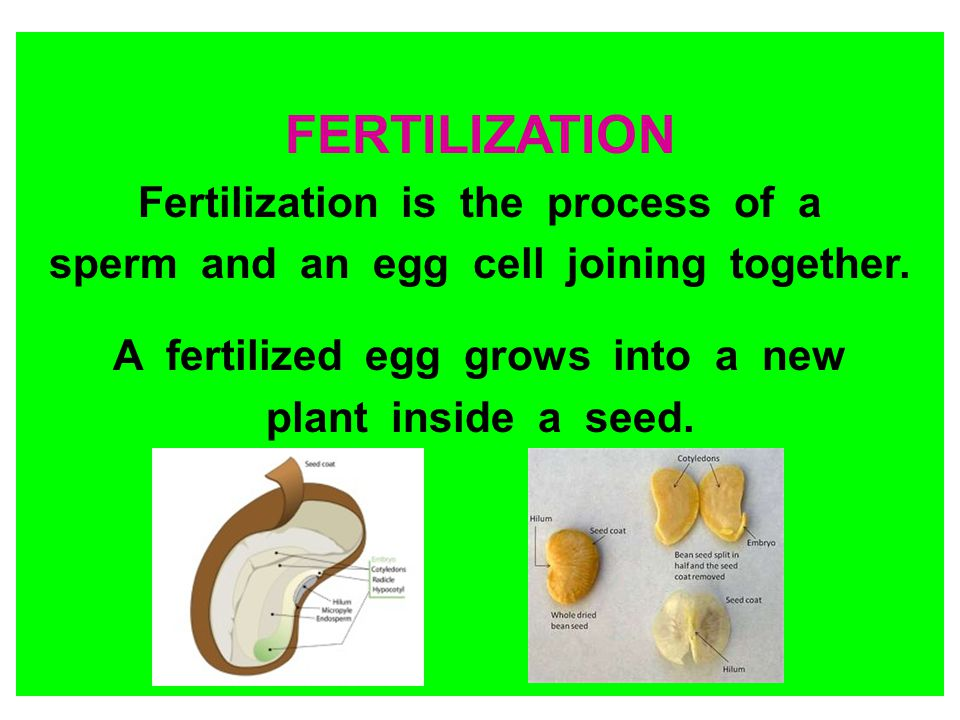 FERTILIZATION Fertilization is the process of a sperm and an egg cell joining together. A fertilized egg grows into a new plant inside a seed.