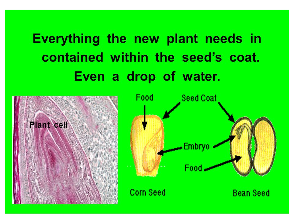 Everything the new plant needs in contained within the seeds coat. Even a drop of water. Plant cell