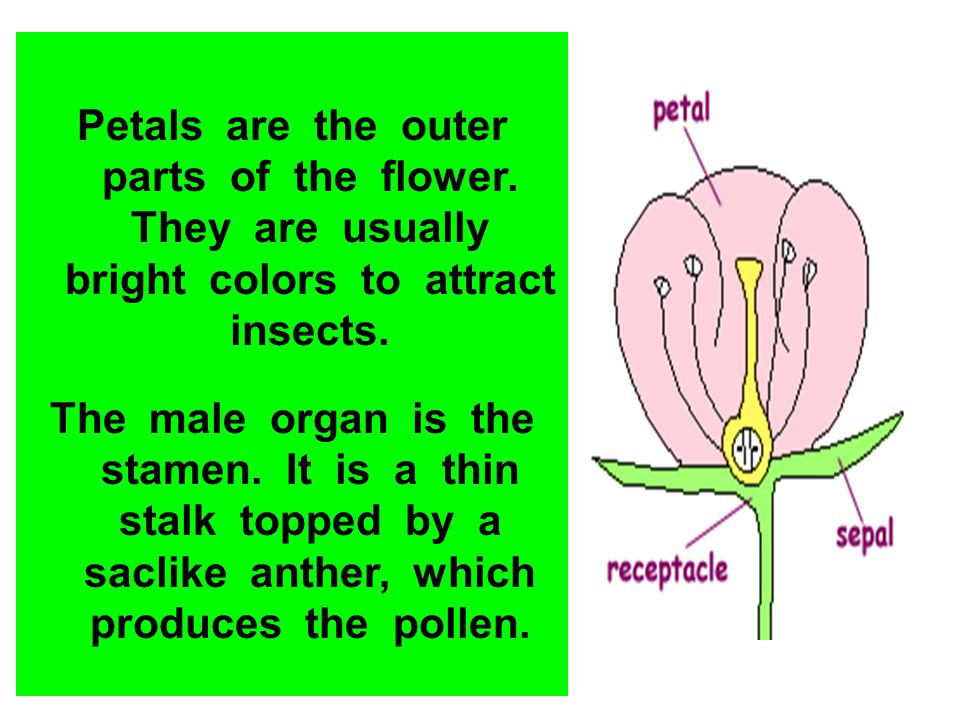 Petals are the outer parts of the flower. They are usually bright colors to attract insects. The male organ is the stamen. It is a thin stalk topped b