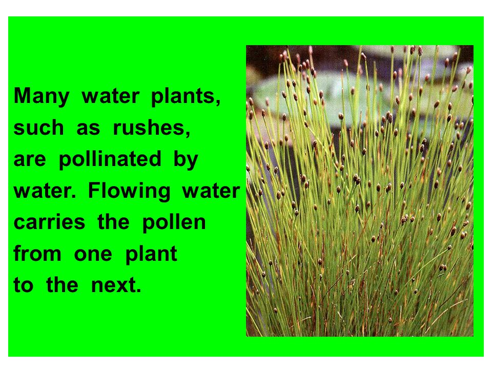 Many water plants, such as rushes, are pollinated by water. Flowing water carries the pollen from one plant to the next.